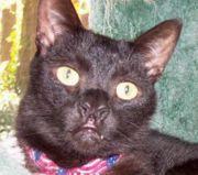 Hair lip in a Burmese cat