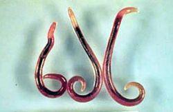 Gnathostoma
